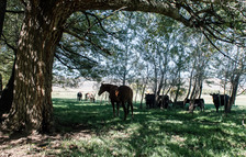 Horses, Cattle and Trees
