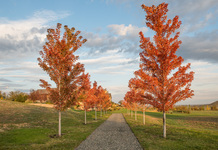 Maple Tree Promenade